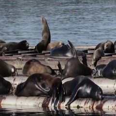 Sea Lions flock Stock Footage