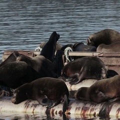 Beautiful shot of Sea lions resting on water pipe in the sea Canada Stock Footage