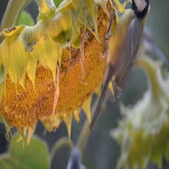 Great Tits, pecking the sunflower seeds. Close-up, artificial lighting Stock Footage