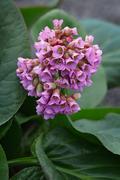 Bergenia crassifolia.Perennial herbaceous plant. Stock Photos