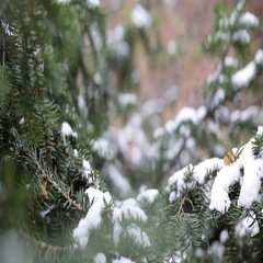 Close-up of christmas tree branches with snow, snowing in botanic garden Stock Footage