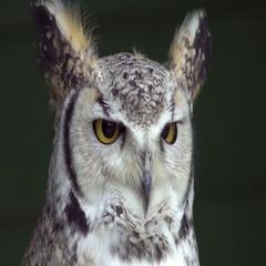 European Eagle Owl (Bubo bubo) Stock Footage