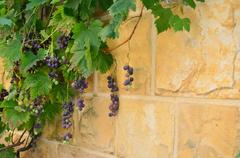 Stone Wall with Vine and Grape Stock Photos