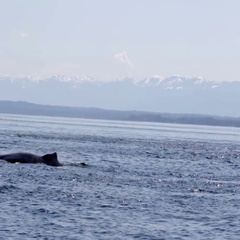 Humpback whale Canada Stock Footage