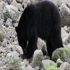 Black Bear search for food under Rocks Stock Footage