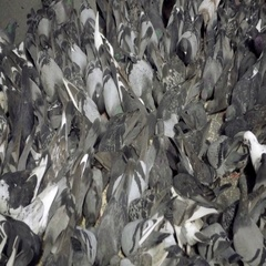 Flock of pigeons feeding off dirty street Stock Footage