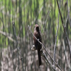 Song sparrow Bird Stock Footage