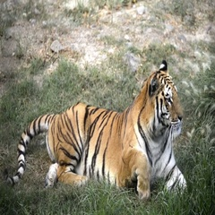 Lying down tiger Stock Footage