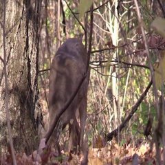 Whitetail doe deer closeup in forest eating acorns Stock Footage