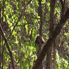Ground hog in a tree climbs down rare site Stock Footage