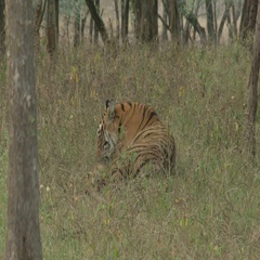Bengal Tiger (Panthera tigirs tigris) lying down than standing up for walking Stock Footage