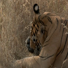 Bengal Tiger (Panthera tigirs tigris)  cleaning his paws while lying between Stock Footage