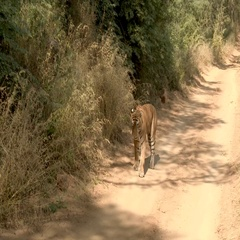 Bengal Tiger (Panthera tigirs tigris) old male walking slowly and stiff with Stock Footage