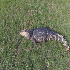 A caiman crocodile resting in the grass. Stock Footage