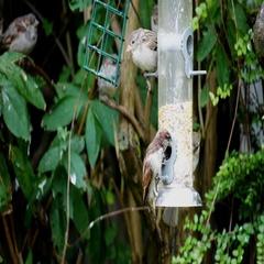 Tree sparrow birds (Passer montanus) eating some seeds Stock Footage