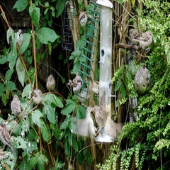 Tree sparrow birds eating some seeds at a bird feeders located in a garden Stock Footage