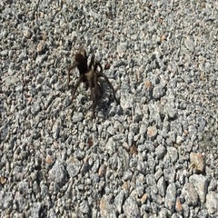 Tarantula walking over gravel Stock Footage