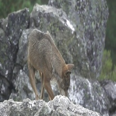 Slow motion of wolf over rocks Stock Footage