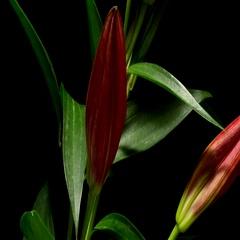 Stargazer Lily Flower Timelapse Stock Footage