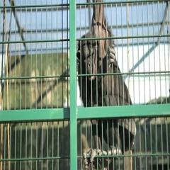Chimpanzee climbs zoo lattice Arkistovideo
