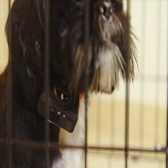 Dog wearing anti-bark collar around neck close up 4K Stock Footage