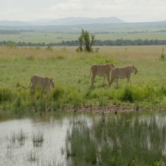 African Lion (Panthera leo) females walking along small pond, tracking shot Stock Footage