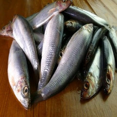 A pile of fresh sprats. Stock Footage