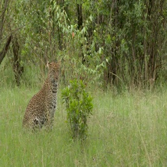 Leopard in forest  going to lie down under a tree, tracking shot in high angle. Stock Footage