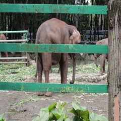 Happy elephant inside compound cage Stock Footage