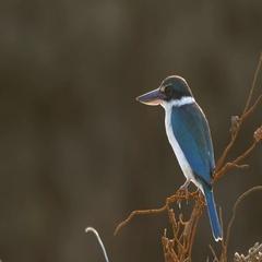 Kingfisher Flies Away - Beautiful Bird Stock Footage