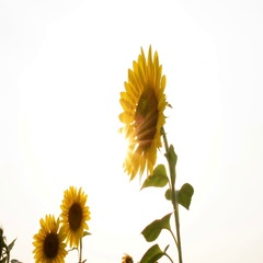 Sunflower In The Field And Glowing Sun Behind Stock Footage