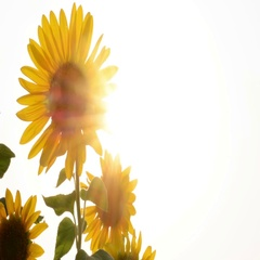 Sunflower In The Field And Glowing Sun Stock Footage