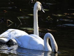Pair of Trumpeter Swan, Cygnus buccinator, feeding Stock Footage