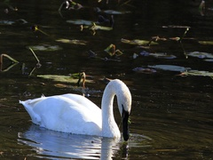 Cygnus buccinator, Trumpeter Swan, on pond Stock Footage
