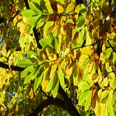 Dense foliage of sweet chestnut tree showing leaves in autumn colours Stock Footage