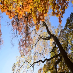 Rotating view on northern red oak tree showing leaves in autumn colours Stock Footage