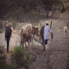 Farmer walking with their farm animals Stock Footage