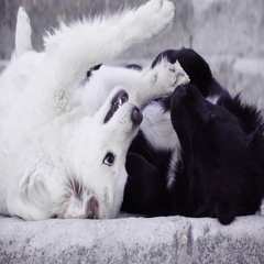 Black and white dogs playing Stock Footage