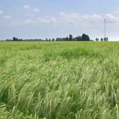 Barley Field in Sweden Stock Footage
