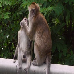 Monkeys Grooming - Family Love Stock Footage