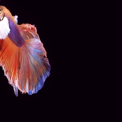 Siamese Fighting Fish Betta Splendens Stock Footage