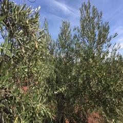 Olive trees plantation Stock Footage