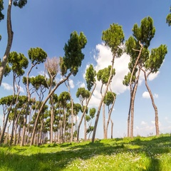 Timelapse of park with tipical mediterranean region Stone Pines (Pinus pinea) Stock Footage