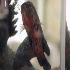 Astronotus fish in a home Aquarium Stock Footage