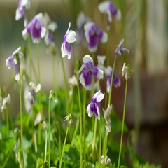 Purple flowers on a long stem of a plant Stock Footage
