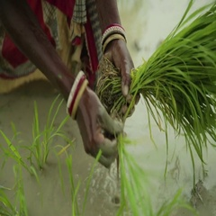 Indian woman planting young rice planting in the field Stock Footage