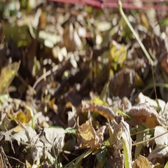 Rake lying in a pile of grass and leaves Stock Footage