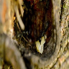 Ants in their anthill in tree Stock Footage