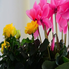 Beautiful flowers of cyclamen, rose and geranium Stock Footage