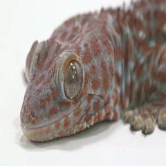 Tokay Gecko portrait shot on white Stock Footage